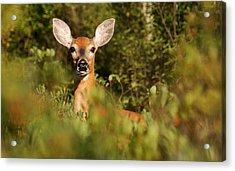 Same Deer In The Woods  Acrylic Print