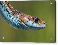 San Francisco Garter Snake Portrait Acrylic Print