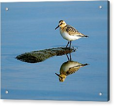 Sanderling Reflecting Acrylic Print by Tony Beck