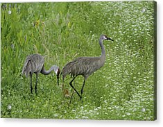 Acrylic Print featuring the photograph Sandhill Cranes And Chick by Bradford Martin