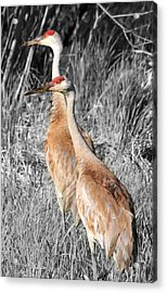 Sandhill Cranes In Select Color Acrylic Print