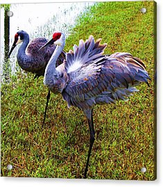 Acrylic Print featuring the photograph Sandhill Cranes-plumes In Bloom by Joy Braverman