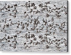 Acrylic Print featuring the photograph Sandpipers In Flight by Dan Friend