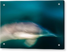 Santa Barbara Dolphin One Acrylic Print by Josh Whalen