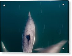 Santa Barbara Dolphin Two Acrylic Print by Josh Whalen