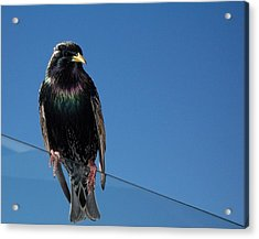 Acrylic Print featuring the photograph Santa Monica Pier Starling by Peter Mooyman