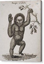 Satyrus, Ourang Outang. Pongo Or Jocko Acrylic Print by Ken Welsh