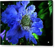 Scabiosa Acrylic Print by Shirley Sirois