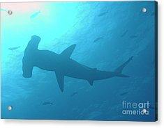 Scalloped Hammerhead Shark Acrylic Print by Sami Sarkis