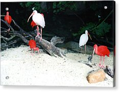 Acrylic Print featuring the photograph Scarlet Ibis And Spoonbills by Maureen E Ritter