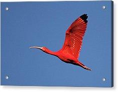 Scarlet Ibis Acrylic Print by Copyright Faraaz Abdool/Hector de Corazón