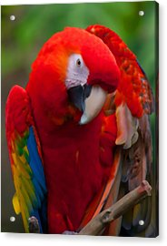 Acrylic Print featuring the photograph Scarlet Macaw by Cindy Haggerty
