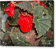 Scarlet Acrylic Print by Jane Whyte