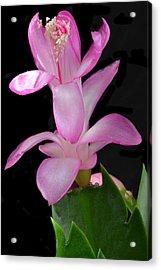 Schlumbergera Bloom. Acrylic Print