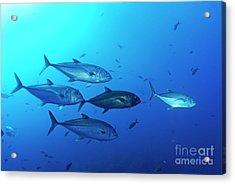 School Of Bigeye Jack Fishes Acrylic Print by Sami Sarkis