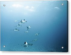 School Of Devil Rays Acrylic Print by Alexander Safonov
