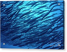 School Of Pelican Barracudas Acrylic Print by Sami Sarkis