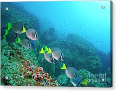 School Of Razor Surgeonfish On Rocky Seabed Acrylic Print by Sami Sarkis