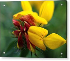 Acrylic Print featuring the photograph Scotch Broom by Chriss Pagani
