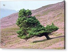 Scots Pine Tree (pinus Sylvestris) Acrylic Print