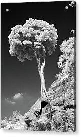 Scots Pine Tree Acrylic Print by Taken by Timothy Ball
