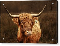 Scottish Moo Coo - Scottish Highland Cattle Acrylic Print