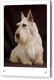 Scottish Terrier - Scotty 107 Acrylic Print by Larry Matthews