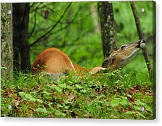 Scratching An Itch Acrylic Print by Mike Martin