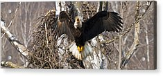 Acrylic Print featuring the photograph Screaming Eagle  by Randall Branham