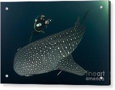 Scuba Diver And Whale Shark, Papua Acrylic Print by Steve Jones
