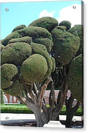 Sculpted Mediterranean Cypress Acrylic Print by Christopher Mullard