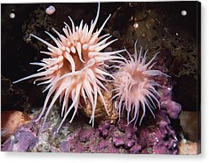 Sea Anemones In  Admiralty Inlet Acrylic Print