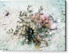 Sea Cucumber And Starfish Acrylic Print by Georgette Douwma