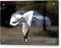 Sea Gull In Flight Acrylic Print