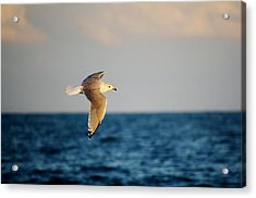 Sea Gull Over The Ocean Acrylic Print by Paulette Thomas