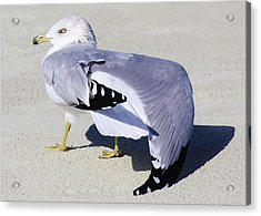 Sea Gull Stretching It Out Acrylic Print by Paulette Thomas