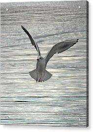Sea Gull Acrylic Print by Tom Gallacher