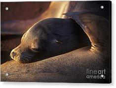 Acrylic Print featuring the photograph Sea Lion - Galapagos by Craig Lovell