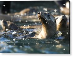 Sea Lion And Friends Acrylic Print by Steve Munch
