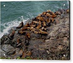 Sea Lions 3 Acrylic Print by Kathy Long