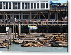 Sea Lions At Pier 39 San Francisco California . 7d14272 Acrylic Print by Wingsdomain Art and Photography
