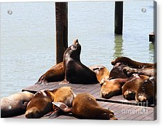 Sea Lions At Pier 39 San Francisco California . 7d14314 Acrylic Print by Wingsdomain Art and Photography