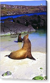Sea Lions On Genovesa Island Acrylic Print by Thomas R Fletcher