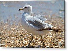 Seagull Acrylic Print by Betsy Knapp