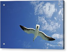 Seagull Flying In The Sky On Blue Sky Acrylic Print by Sami Sarkis
