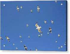 Seagull Acrylic Print by Johnny Greig