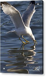 Seagull On Water Acrylic Print