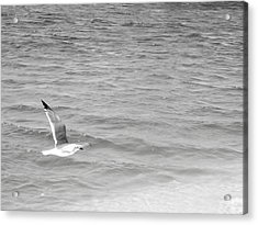 Seagull Over Water Acrylic Print