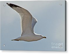 Seagull Soaring Acrylic Print by Darleen Stry