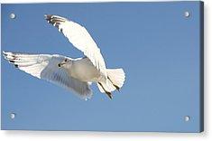 Seagull Acrylic Print by Steven Michael
